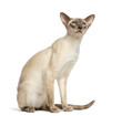 Oriental Shorthair sitting and looking up