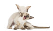 Two Oriental Shorthair kittens, 9 weeks old, play fighting
