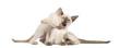Two Oriental Shorthair kittens, 9 weeks old, play fighting
