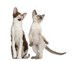 Oriental Shorthair adult sitting and kitten standing on hind leg