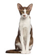 Oriental Shorthair sitting and looking at camera