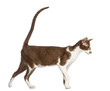 Side view of an Oriental Shorthair walking