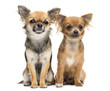 Two Chihuahuas sitting and looking at camera