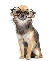 Chihuahua wearing round glasses ,sitting and looking at camera