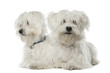 Two Maltese dogs, 2 years old, lying