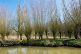 Typical pollard willows in Holland