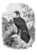 Eagle - Aigle - Adler