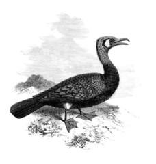 Cormorant - Cormoran - Kormorane