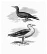 See-gull - Goeland - Fou