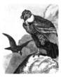 Vautours - Vultures - Geyer