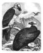Vultures - Vautours - Geyer