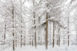 Tranquil Dutch winter forest