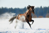 Brown horse runs in winter landscape