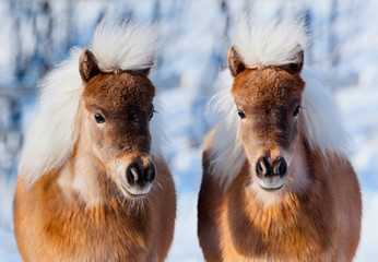 Ponies in winter forest