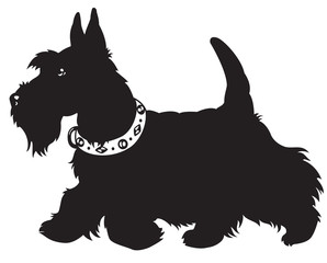 scottish terrier black and white