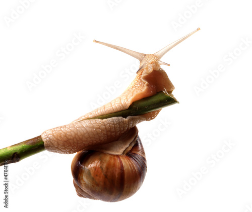 Snail crawling on the stem
