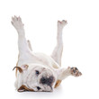 English Bulldog roling over floor - laying upside down