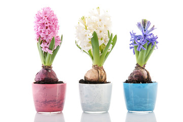 Colorful row hyacinths