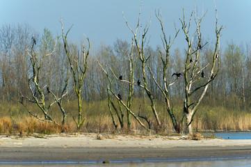 Colony Great Cormorants in tree