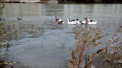 Anatre e oche nel fiume Brenta