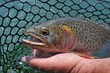 Cutthroat trout in fisherman's net