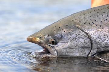 king Salmon caught while fishing
