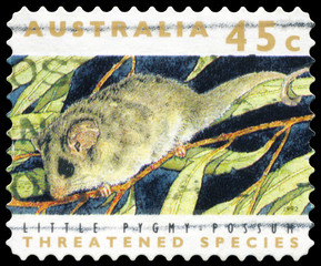 AUSTRALIA - CIRCA 1992 Little Pygmy Possum