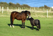 horse next to shetland pony