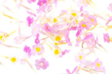 fleurettes de lantana