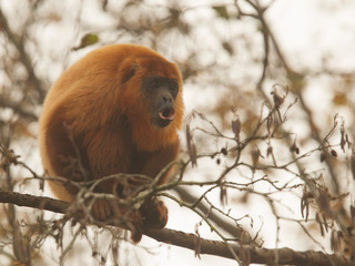 Mantled howler (Alouatta seniculus) howling