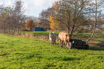 Two cows in autumn