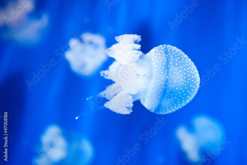 Beautiful white jellyfish in the aquarium on blue background.