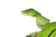 Python, Baumpython,Morelia viridis