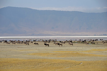 Ngorongoro Crater - herd of wildebeest and flamingos