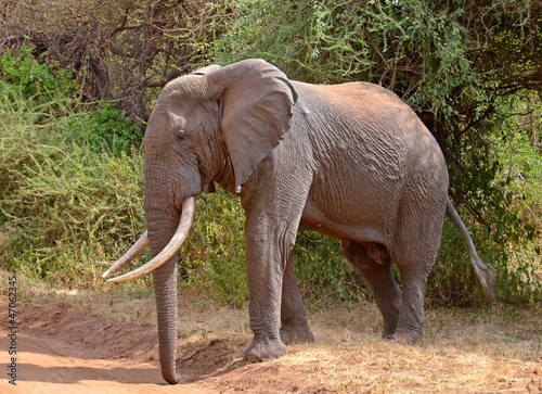 Big Male Elephant crossing the road