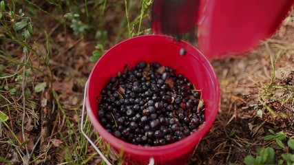 Fresh blueberries in small bucket