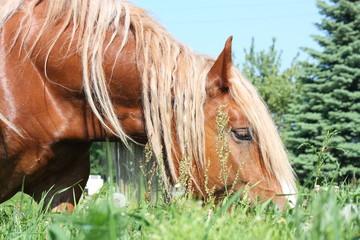 Palomino draught horse eating grass