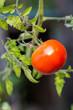 Fresh red tomato ready to pick