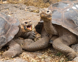 Pair of large Galapagos giant tortoise