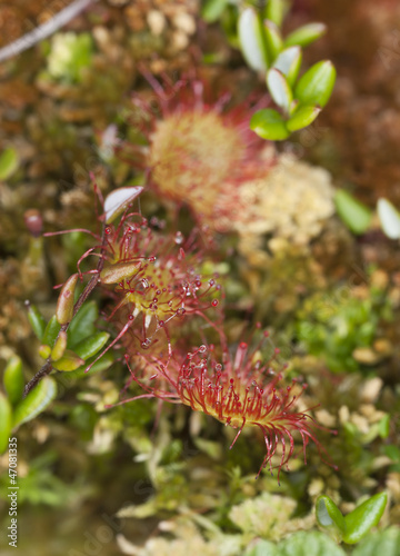 Common sundew (Drosera rotundifolia) macro photo