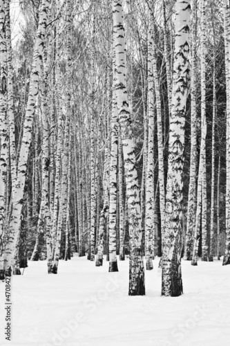 Wall mural birch forest in winter in black and white for Black and white forest wall mural