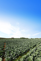 The green cabbage field