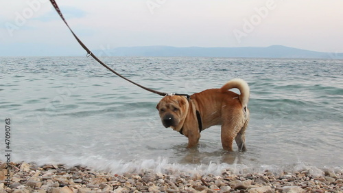 sharpei dog in beach
