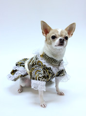 Chihuahua puppy dressed luxury.