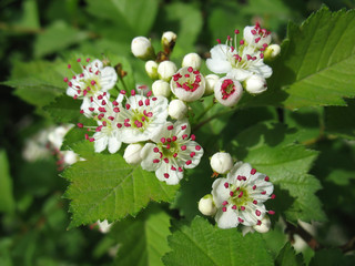 Melting flowers of hawthorn with red stamen