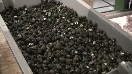 Napfschnecken aus Madeira