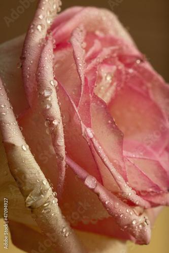 Rose flower macro close up © trancedrumer