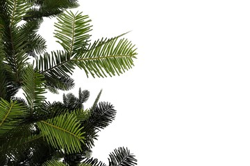 Branches of a pine tree on the white background
