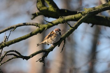 Eurasian Tree Sparrow (Passer montanus) on a branch. Winter.