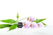 stones, bamboo and pink orchid on the white background